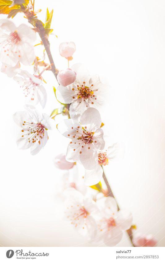 blütenweiß harmonisch Erholung ruhig Duft Valentinstag Muttertag Umwelt Natur Pflanze Frühling Blüte Wildpflanze Zweig Kirschblüten Garten Park Blühend