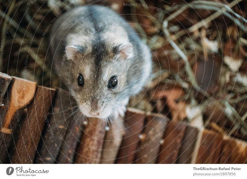 Hamster Tier Haustier 1 braun grau schwarz silber weiß Auge niedlich Nase Streicheln Steg Nagetiere Farbfoto Innenaufnahme Textfreiraum unten Tierporträt
