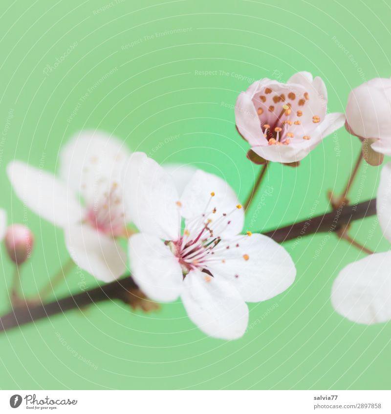 Kirschblüten harmonisch Wohlgefühl Sinnesorgane Duft Muttertag Natur Pflanze Frühling Blüte Zweig Garten Blühend frisch positiv grün weiß Frühlingsgefühle