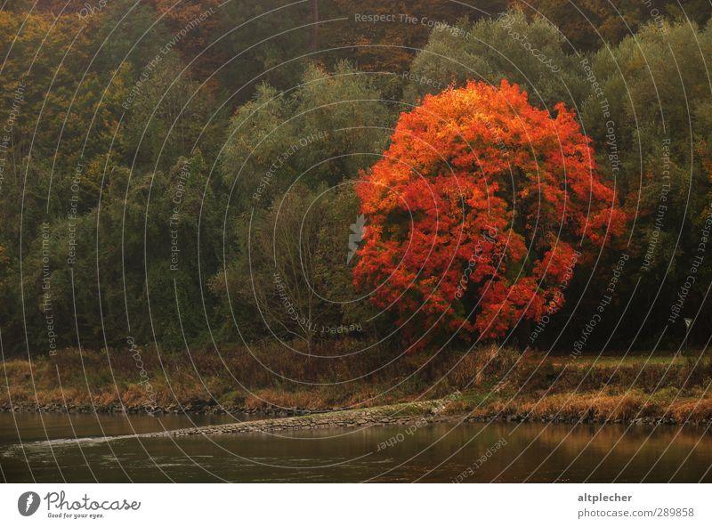 Baumglühen am Donauufer Natur grün Pflanze rot Umwelt Herbst orange Wetter Fluss Flussufer Baumkrone Herbstlaub herbstlich Ahorn