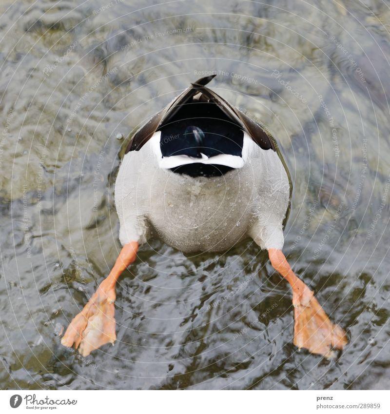Ente Natur Wasser weiß Tier Umwelt lustig grau See Vogel Wildtier Ente Flosse Stockente