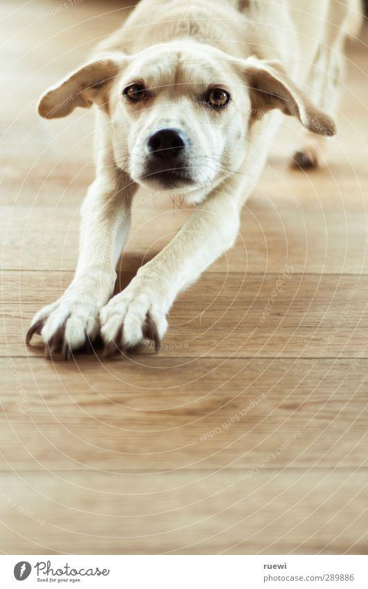 Lisa brünett blond kurzhaarig Tier Haustier Hund Mischling 1 Holz beobachten dünn Neugier oben schön braun gelb schwarz weiß Geborgenheit Tierliebe Wachsamkeit