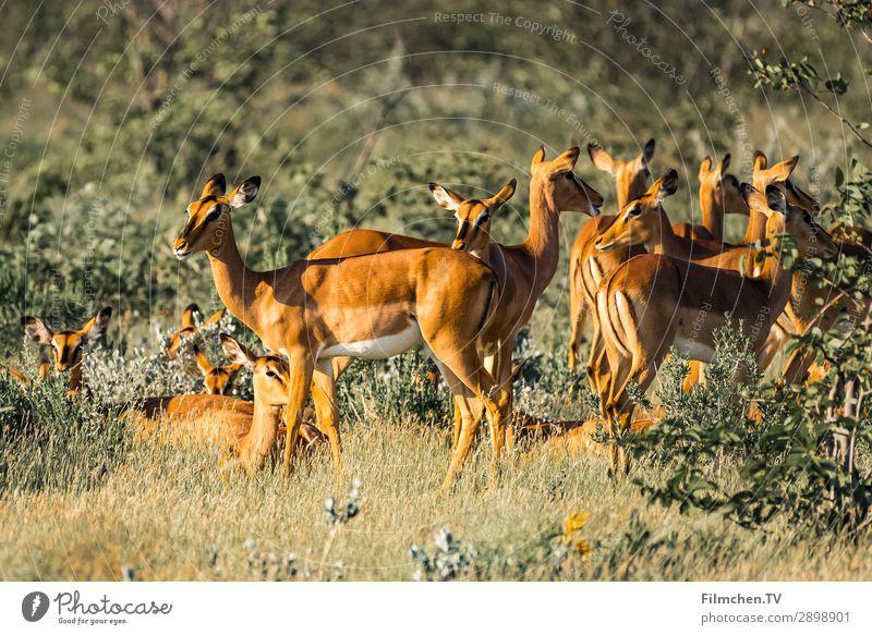 Springbock Herde Tier Wildtier Sprinngböcke Tiergruppe Umwelt Afrika Etoscha-Pfanne Namibia Reisen Farbfoto Außenaufnahme Menschenleer Morgen