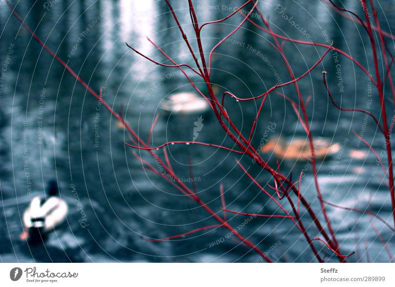 am Ententeich Natur Landschaft Winter Regen laublos Zweig Sträucher Teich Gewässer Vogel Entenvögel Tiergruppe Schwimmen & Baden nass Farbe buschig blau