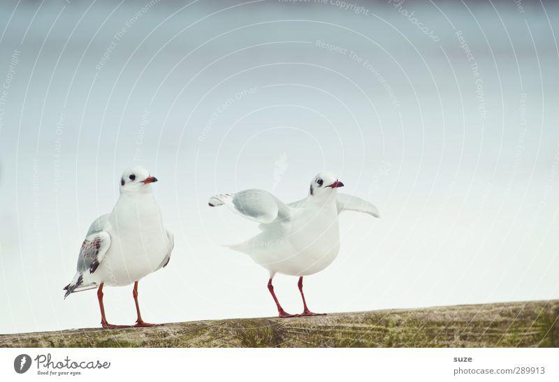 Ich mach dann ma los Umwelt Natur Urelemente Luft Himmel Wolkenloser Himmel Winter Tier Wildtier Vogel 2 Tierpaar hell kalt klein niedlich weiß Möwe Möwenvögel