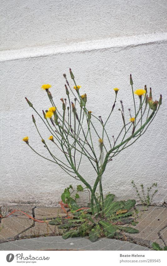 Betonblüher ! trash! Natur grün weiß Pflanze Blume Erholung gelb Wand Mauer Stein außergewöhnlich Fassade Wachstum Dekoration & Verzierung Blühend bescheiden