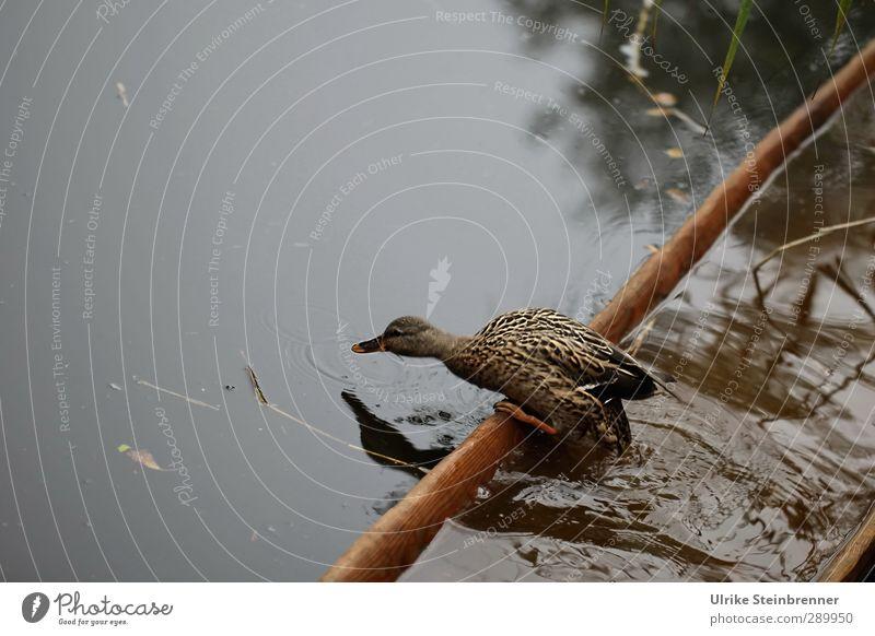 Das sinkende Schiff verlassen Natur Tier Herbst See braun Wasserfahrzeug natürlich gehen Wildtier Nebel stehen nass Geschwindigkeit Feder beobachten Schilfrohr