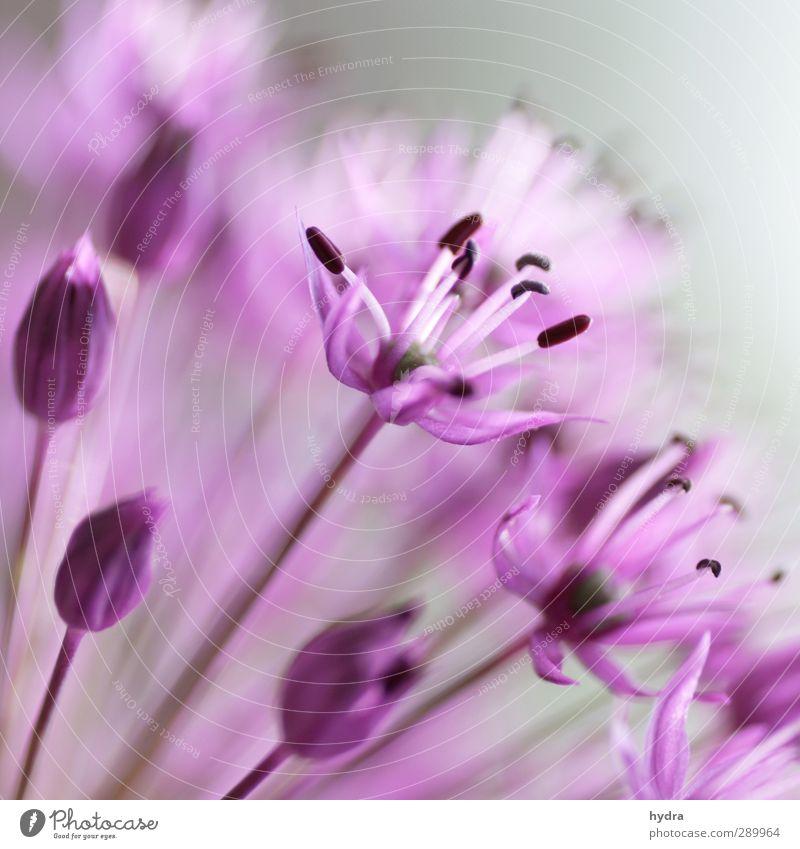 Trash! rosa Gartenkitsch Valentinstag Blume Blüte Allium rosenbachianum Blumenschirm Zierlauch Liliengewäch Liliancea Zwiebellauch Blühend ästhetisch Kitsch nah