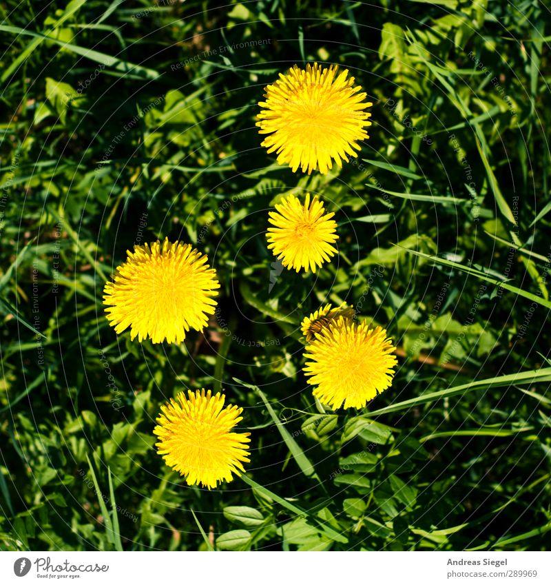 2:3 Natur grün Pflanze Landschaft gelb Umwelt Wiese Frühling Blüte Garten Ordnung frisch Beginn Zusammenhalt Löwenzahn Umweltschutz