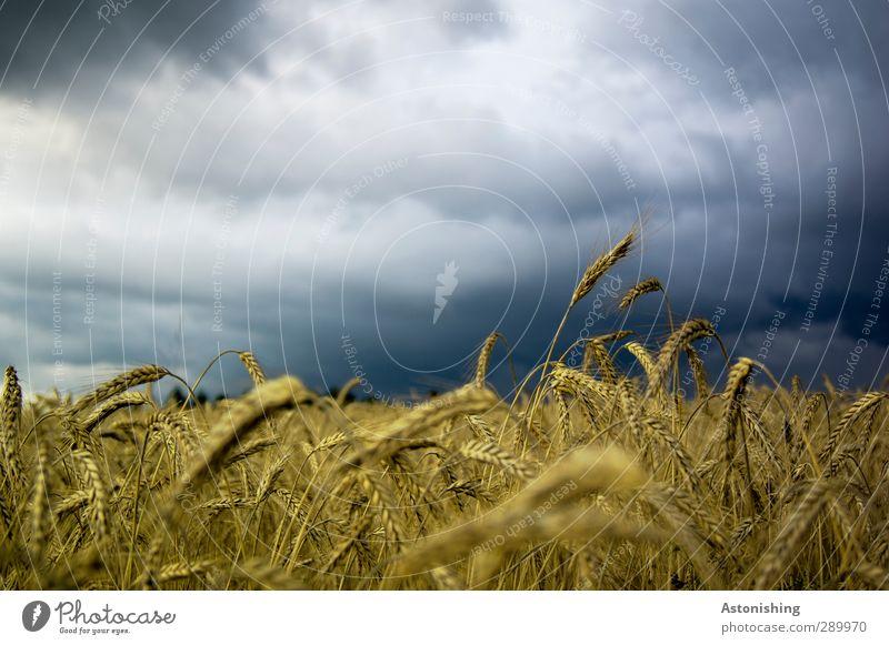 im Kornfeld Umwelt Natur Landschaft Pflanze Luft Himmel Wolken Wetter Unwetter Sturm Nutzpflanze Feld Wald blau mehrfarbig gelb gold schwarz weiß Getreide
