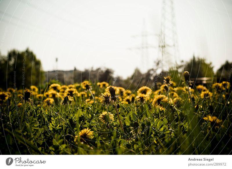 Heading the sun Umwelt Natur Landschaft Pflanze Frühling Schönes Wetter Gras Löwenzahn Löwenzahnfeld Wiese hell gelb grün Farbfoto Außenaufnahme Menschenleer