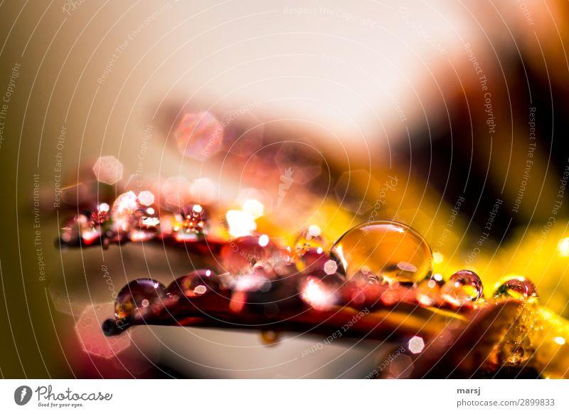 Tröpchen auf Blütenblättern Wassertropfen Frühling Chrysantheme glänzend leuchten nass natürlich Warme Farbe Warmes Licht Farbfoto Gedeckte Farben Makroaufnahme