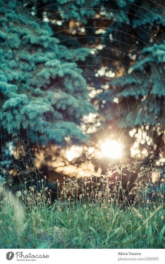 Little quiet Place Wiese grün Wald Tanne Gras Sonnenuntergang Gegenlicht schwarz gelb weiß