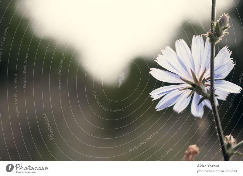 Gute Aussichten Blume Blühend Blüte Kornblume Silhouette Wiese Natur grün blau