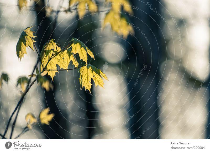 Ein wenig herbstlich Natur grün weiß Pflanze schwarz Herbst leuchten Ahornblatt Ahorn