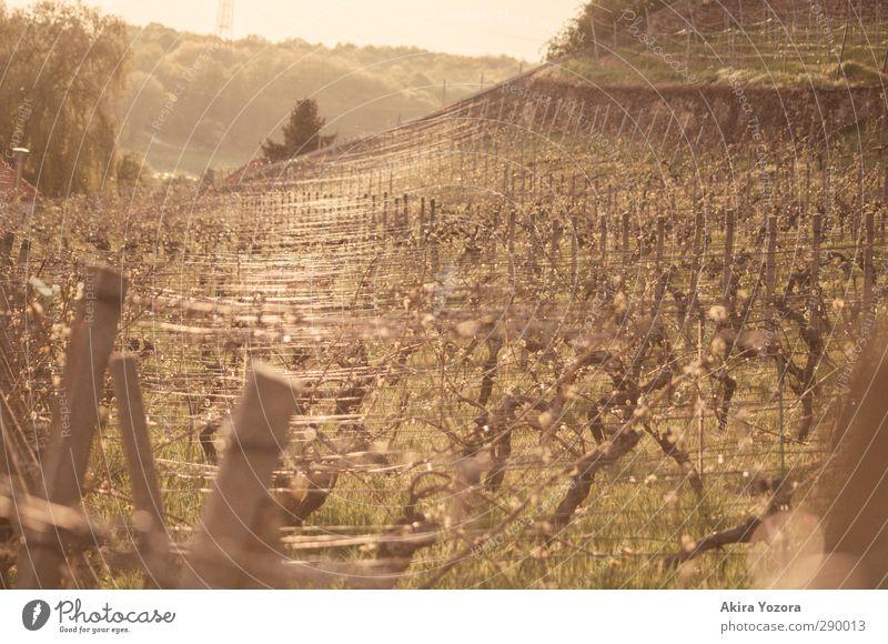 Weinlandschaft Natur Baum Landschaft Arbeit & Erwerbstätigkeit Weinbau Zaunpfahl