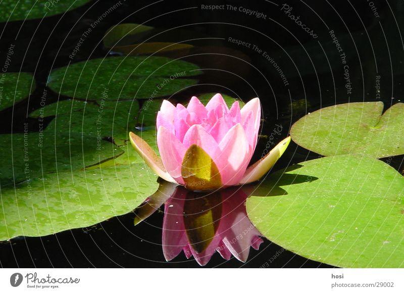 Searose Rose Seerosen Teich Blüte Wasser