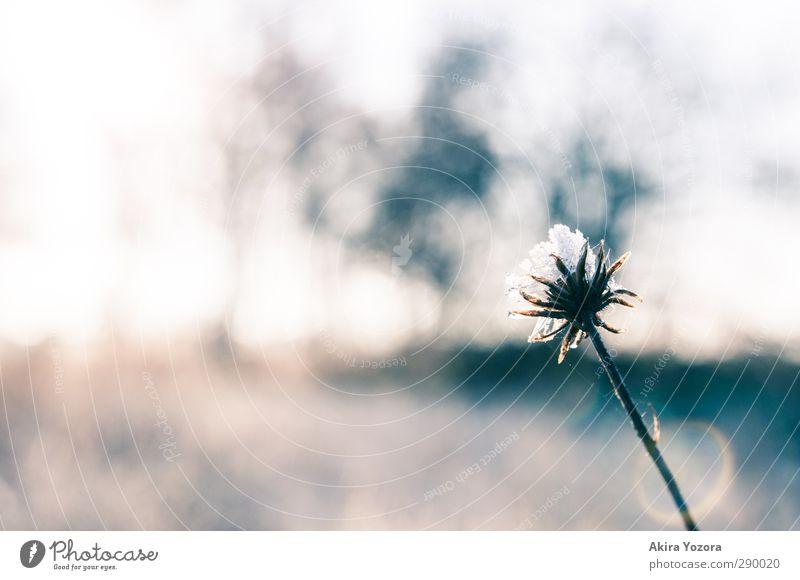 Der Anfang vom Winter Blume Blüte Frost Landschaft Natur kalt frisch natürlich