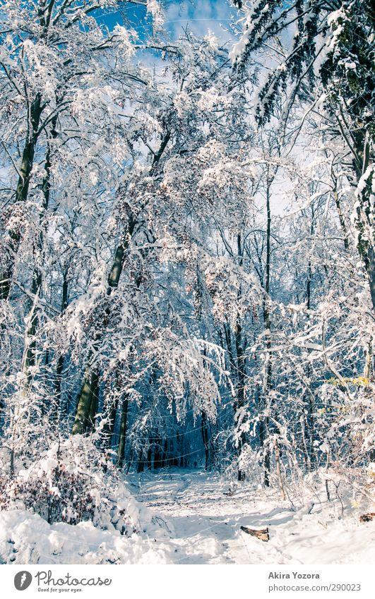 Winterwunderwald Himmel Natur blau weiß Wald braun natürlich Schönes Wetter Laubwald