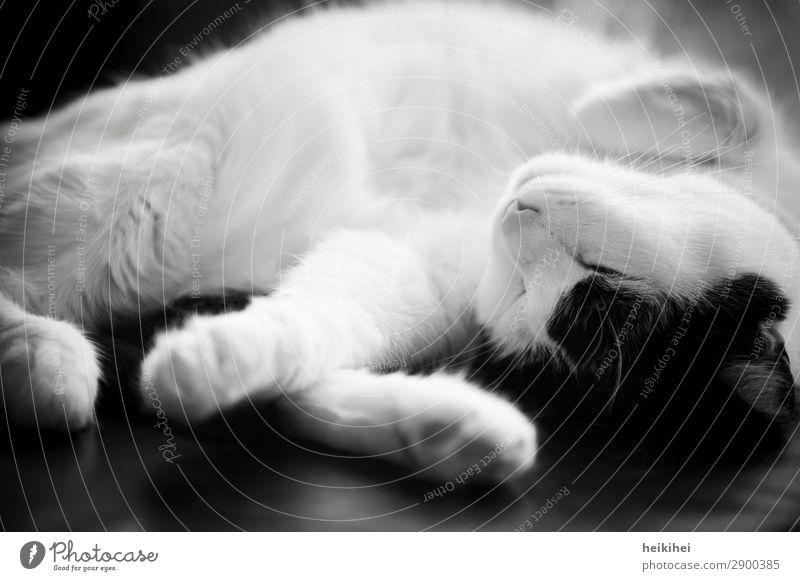 Schlafmütze Katze schön weiß Erholung Tier ruhig schwarz Gesundheit Liebe feminin Glück Zufriedenheit glänzend liegen fantastisch niedlich