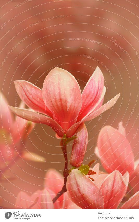 zarte Schönheit Umwelt Natur Frühling Sommer Pflanze Baum Blume Sträucher Blüte Magnoliengewächse Magnolienblüte Magnolienbaum Garten Park Duft elegant rosa