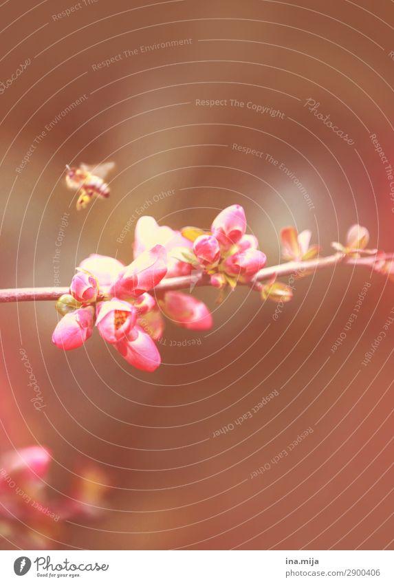 Summ Umwelt Natur Frühling Sommer Pflanze Blume Blüte Garten Park Tier Wildtier Biene Käfer 1 Blühend frei rosa Duft Freiheit Leben Biene Maja Blütenknospen