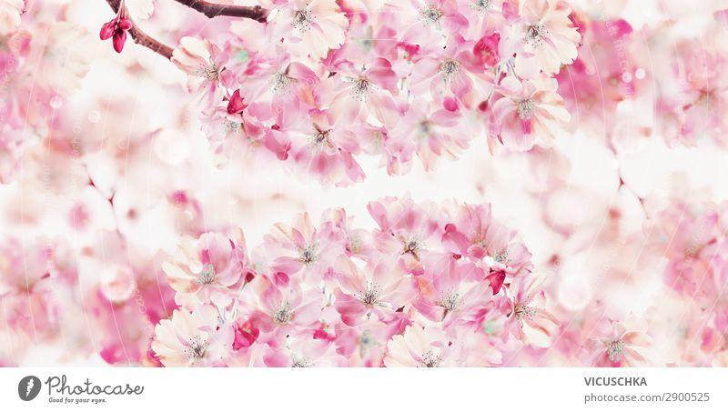 Frühlingsnatur Hintergrund mit rosa Blüte von Kirschbäumen Design Garten Natur Sonnenlicht schlechtes Wetter Blume Blatt Park Fahne weiß Hintergrundbild blossom