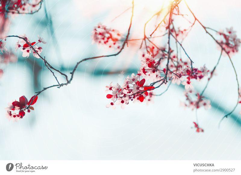 Schöne Frühlingsnatur Blüten Stil Design Garten Natur Pflanze Sonnenlicht Schönes Wetter Blatt Park blau rosa rot Hintergrundbild Kirschblüten Himmel