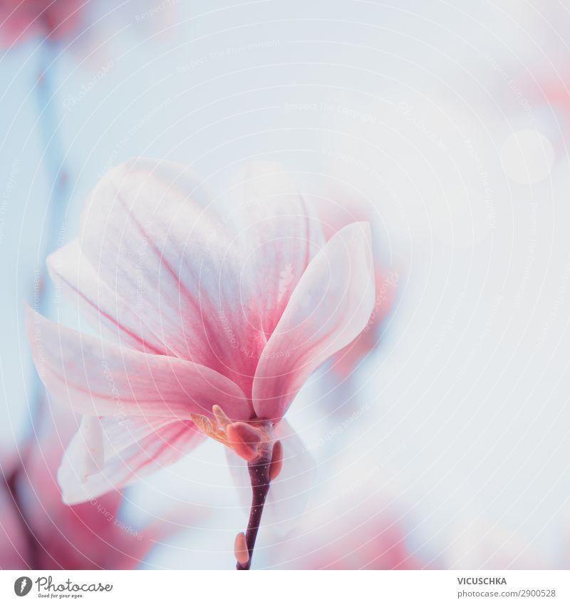 Nahaufnahme einer schönen Magnolienblüte. Blüte im Frühling. Frühlingshintergrund abschließen lieblich Blütezeit Hintergrund Design Blütenknospen Botanik