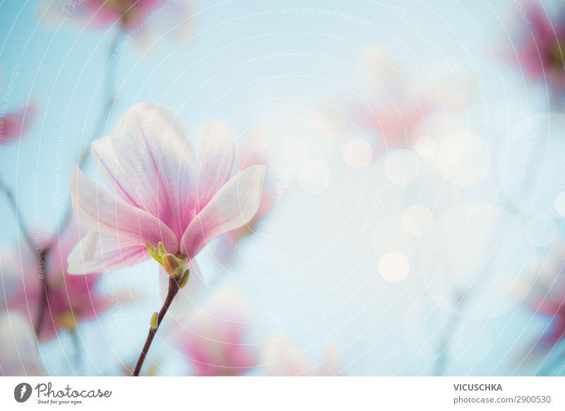 Magnolien Blüte an unscharfem Natur Hintergrund Lifestyle Design Garten Pflanze Frühling Blume Blatt Park rosa Hintergrundbild Magnoliengewächse Magnolienblüte