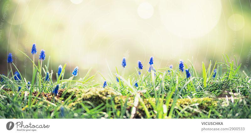 Wilde Hyazinthen im Sonnenlicht auf einer Waldlichtung. Frühlingsnatur-Hintergrund. Frühling im Freien wild Waldwiese Naturhintergrund Blume Traube Garten Farbe
