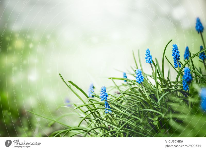 Hübsche Traubenhyazinthen Blumen im Gras Stil Sommer Garten Natur Pflanze Frühling Park Design Hintergrundbild hyacinth flower garden Hyazinthe Nahaufnahme