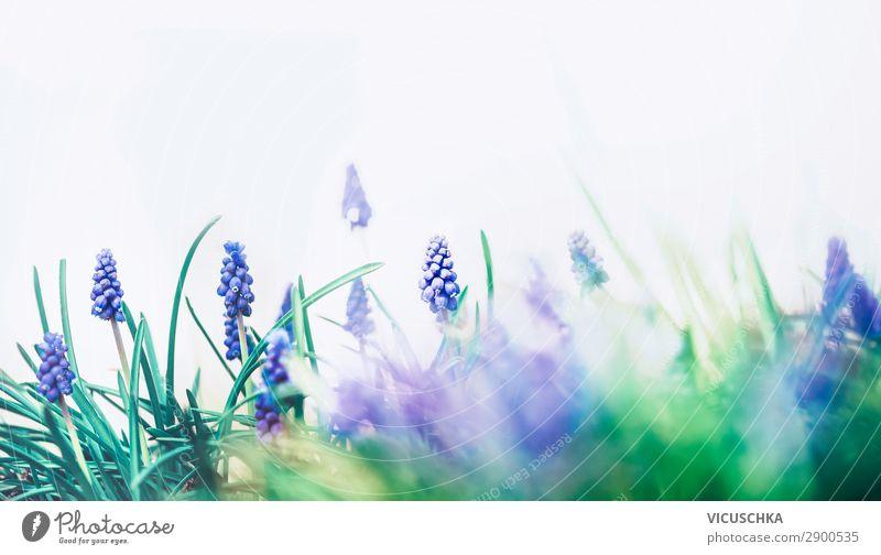 Wilde Traubenhyazinthen Design Garten Natur Pflanze Frühling Schönes Wetter Blume Blüte springen pretty wild grape hyacinths springtime Hintergrundbild
