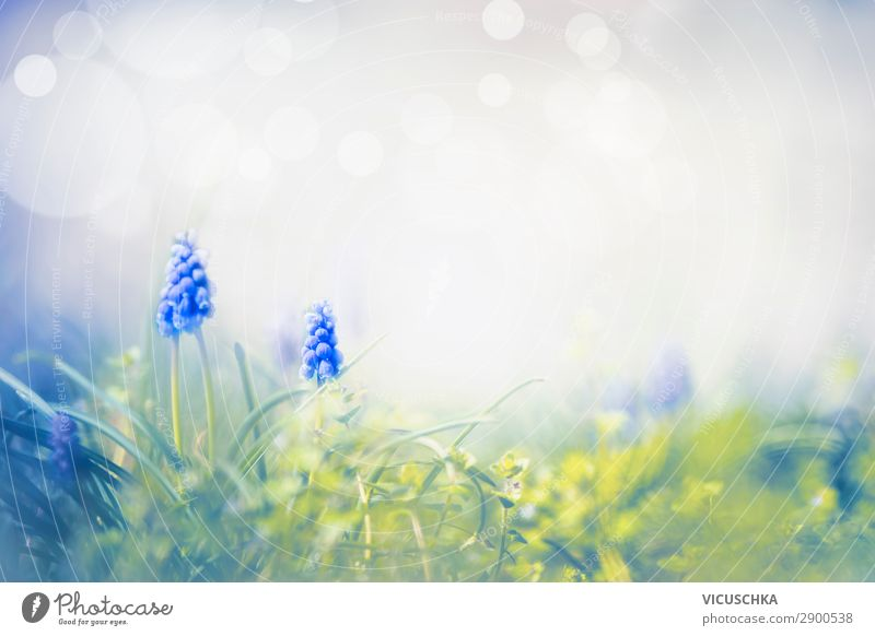 Frühlings Natur mit wilden Traubenhyazinthen Design Sommer Garten Pflanze Blume Park Wiese Blühend Hintergrundbild Hyazinthe Frühlingsgefühle Frühlingsblume