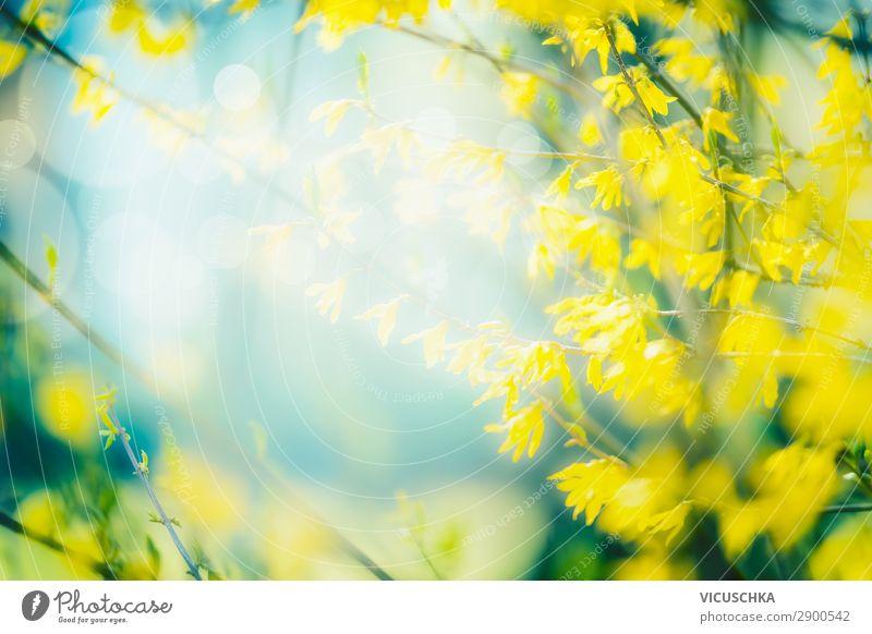 Sonniger Frühlings Natur Hintergrund mit gelben Blüten Lifestyle Design Sommer Garten Pflanze Schönes Wetter Blatt Park Wald Blühend Forsithie Hintergrundbild