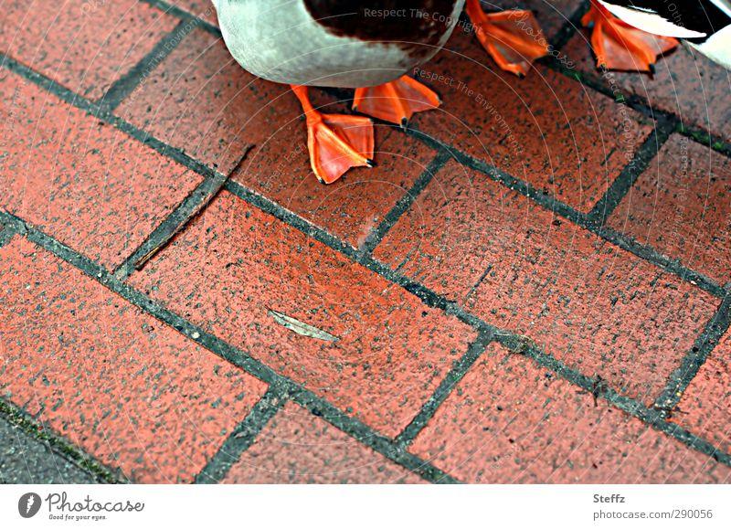 raus aus dem Teich Natur Tier Umwelt Essen Vogel gehen orange Tierpaar stehen Tierfuß warten Fußweg Bürgersteig Ente Pflastersteine unterwegs