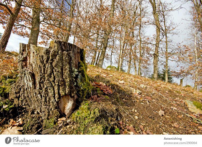 Baumstamm Himmel Natur blau Pflanze Blatt Wolken Landschaft Wald Umwelt Herbst braun Wetter Erde hoch Schönes Wetter