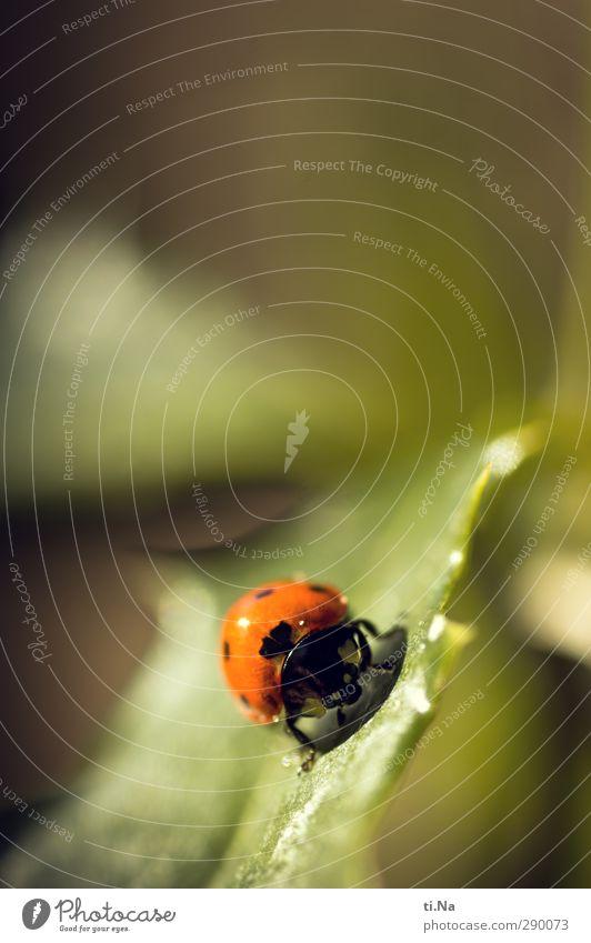 Glück für jeden Pflanze Tier Sommer Blatt Wildtier Käfer Marienkäfer 1 krabbeln klein natürlich gelb grün orange schwarz Farbfoto Nahaufnahme Makroaufnahme