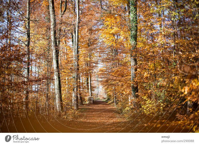 Herbst Umwelt Natur Landschaft Schönes Wetter Wald gelb gold orange Blatt Laubbaum Laubwald Farbfoto Außenaufnahme Menschenleer Tag Weitwinkel