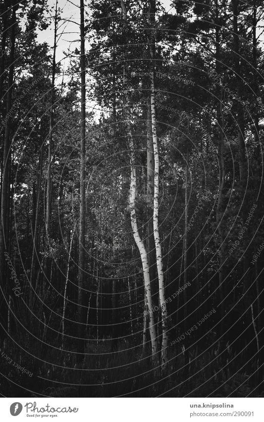 \| Umwelt Natur Landschaft Baum Baumstamm Birke Wald stehen Wachstum dunkel natürlich Geometrie Schwarzweißfoto Außenaufnahme Menschenleer Zentralperspektive