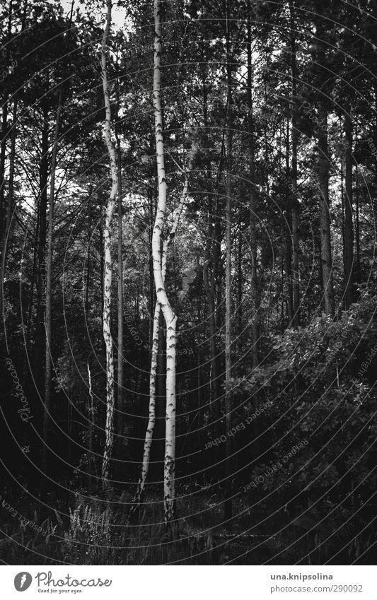 IX Umwelt Natur Landschaft Baum Baumstamm Birke Wald stehen Wachstum dunkel natürlich Geometrie Schwarzweißfoto Außenaufnahme Menschenleer Zentralperspektive