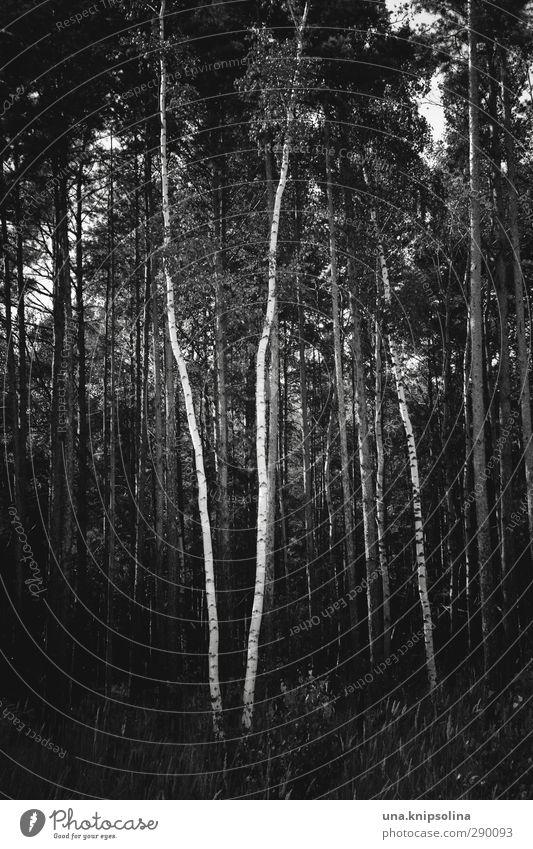 \/ Natur Landschaft Baum Baumstamm Birke Wald stehen Wachstum dunkel natürlich Geometrie Schwarzweißfoto Außenaufnahme Menschenleer Zentralperspektive