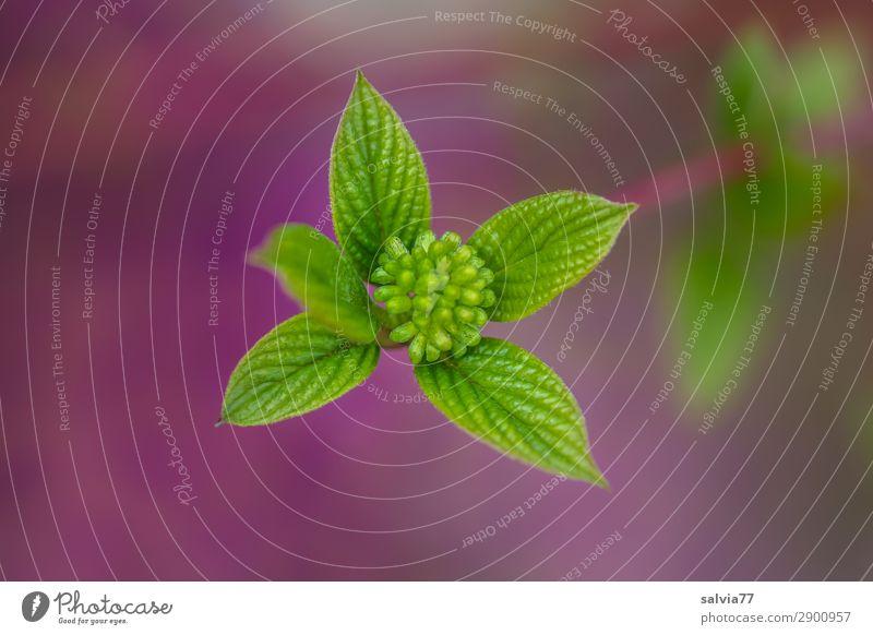 Roter Hartriegel Umwelt Natur Pflanze Frühling Sträucher Blatt Blattknospe Zweige u. Äste Blütenknospen Garten Park Wald Wachstum frisch grün violett Beginn
