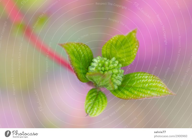 roter Hartriegel Umwelt Natur Tier Frühling Pflanze Sträucher Blatt Zweig Blütenknospen Wachstum frisch grün violett Beginn Farbe Hoffnung Wandel & Veränderung