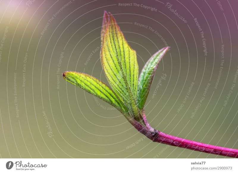 Hoffnung Umwelt Natur Pflanze Frühling Blatt Zweig Blattknospe Hartriegel Garten Park Wachstum frisch natürlich grün rosa Beginn Wandel & Veränderung sprießen
