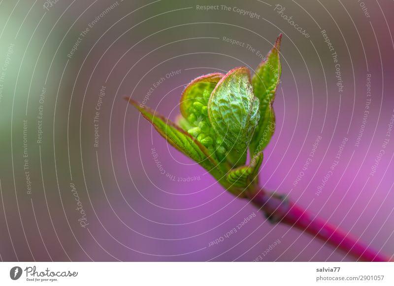 jung und zart Umwelt Natur Pflanze Frühling Sträucher Blatt Blüte Wildpflanze Hartriegel Blütenknospen Garten Park Wachstum frisch grün violett Beginn sprießen