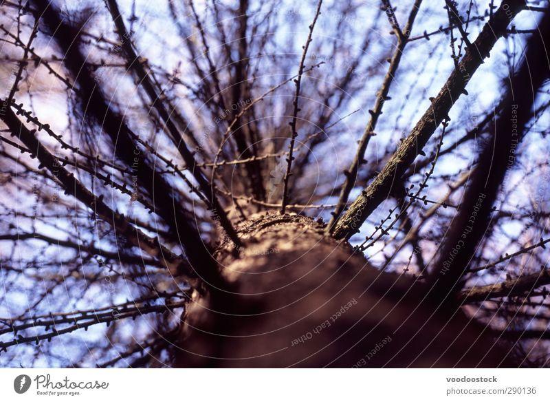 Abstrakte Kiefer Natur Baum Wald Holz alt Wachstum braun Tod Niederlassungen Ast blau Baumstamm Geäst Split Trennung aufwärts Farbfoto Außenaufnahme abstrakt