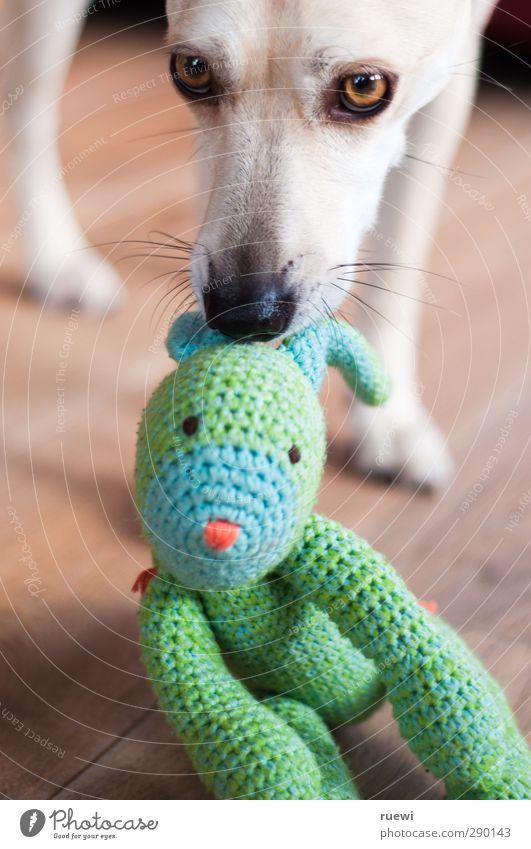 Wohnzimmerjagdhund Hund grün Tier gelb Spielen Holz braun Freundschaft Wildtier Häusliches Leben gefährlich weich niedlich beobachten Neugier Spielzeug