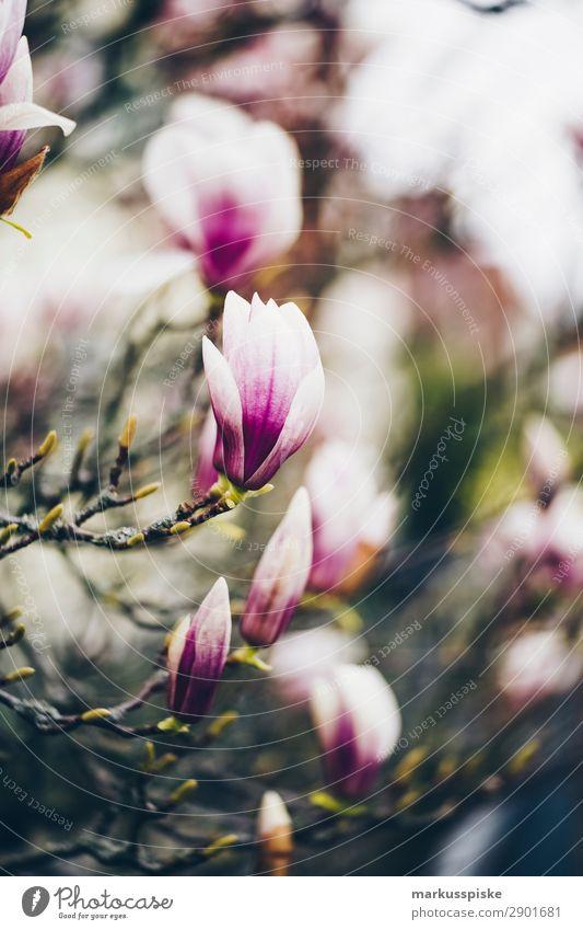 Magnolien Ferien & Urlaub & Reisen Sommer Pflanze Sonne Blatt Umwelt Blüte Frühling Tourismus Garten Freizeit & Hobby wandern Park träumen Lebensfreude Blühend