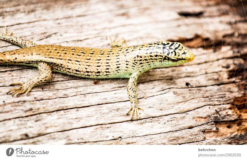 sonnenbad Ferien & Urlaub & Reisen Tourismus Ausflug Abenteuer Ferne Freiheit Urwald Strand Wildtier Tiergesicht Schuppen Reptil Gecko Echte Eidechsen 1